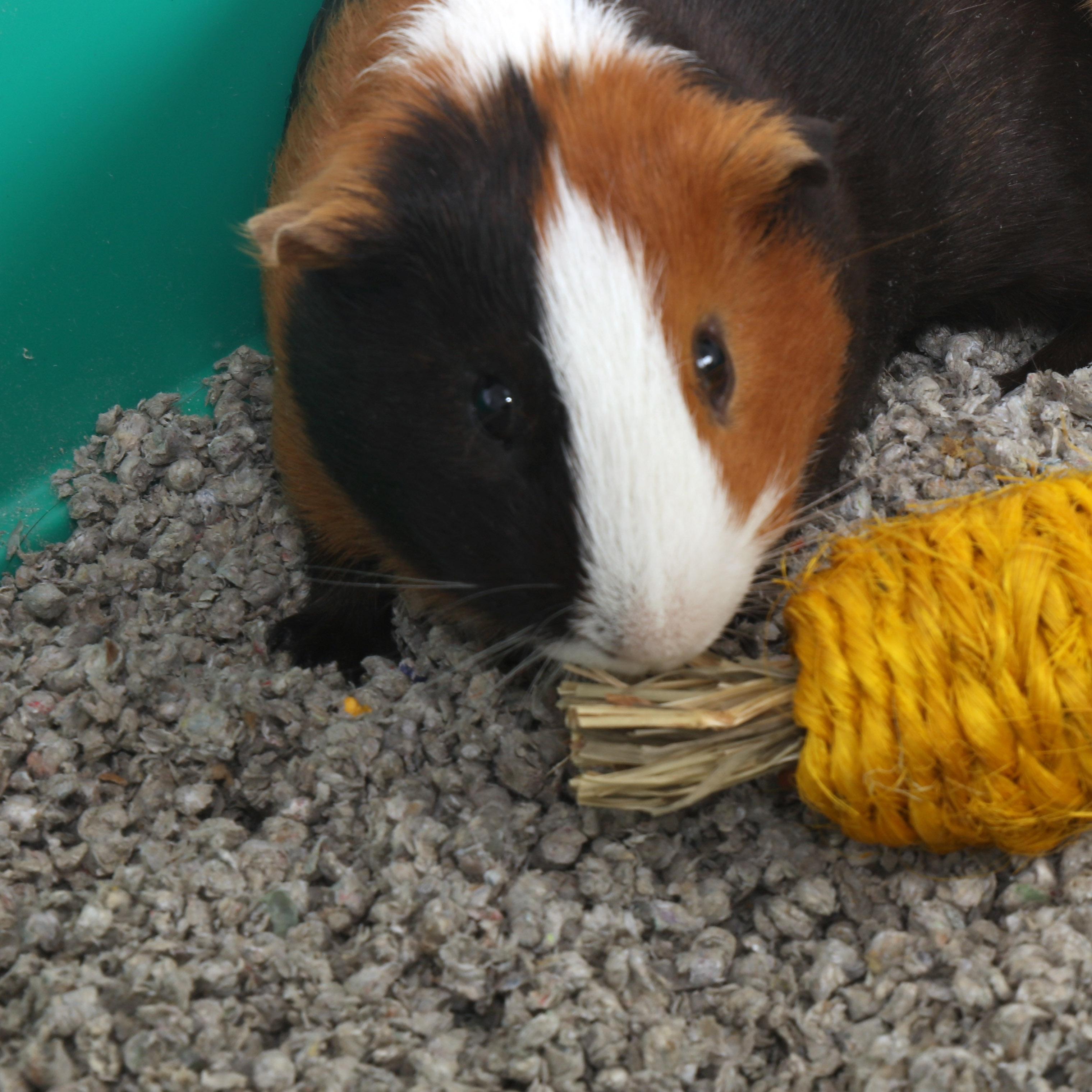 Harvest Chew - Banana
